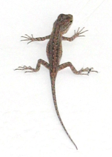 Lizard in a Bathtub