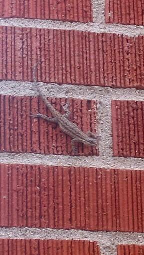 Lizard,lizard on the wall